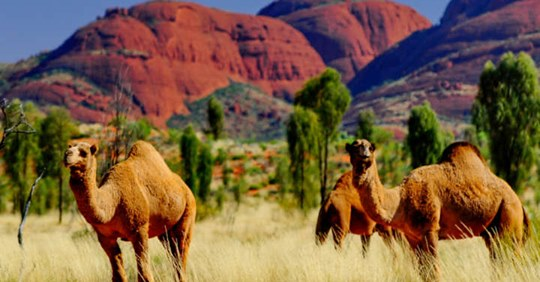 10.000 Unta Dimusnahkan Di Australia Saat Manusia Dan Hewan Menderita Kekeringan
