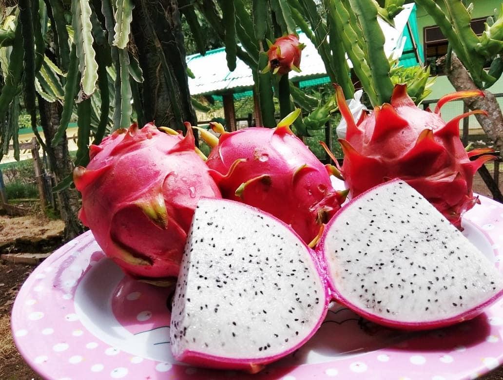 Bahagia itu ketika makan buah hasil dari panen kebun sendiri  . . . Btw ini buka...